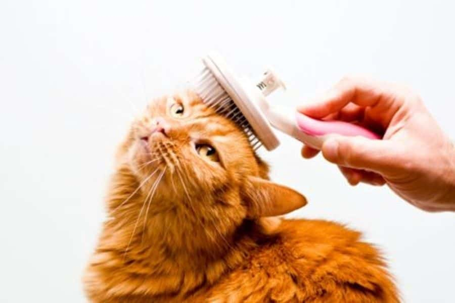 Feline Grooming and its Importance